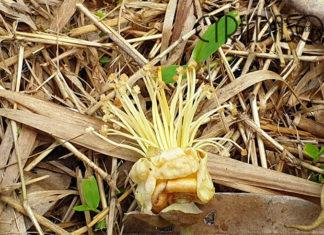 Durian flowers, bunga durian